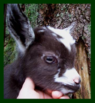 Goat kid head shot
