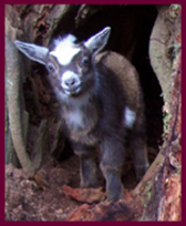 Goat kid looking out from a hollow stump